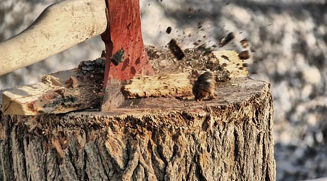 Kesilen Kayısı Ağacının Gövdesindeki Şok Görüntü